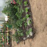 polytunnel vegetables